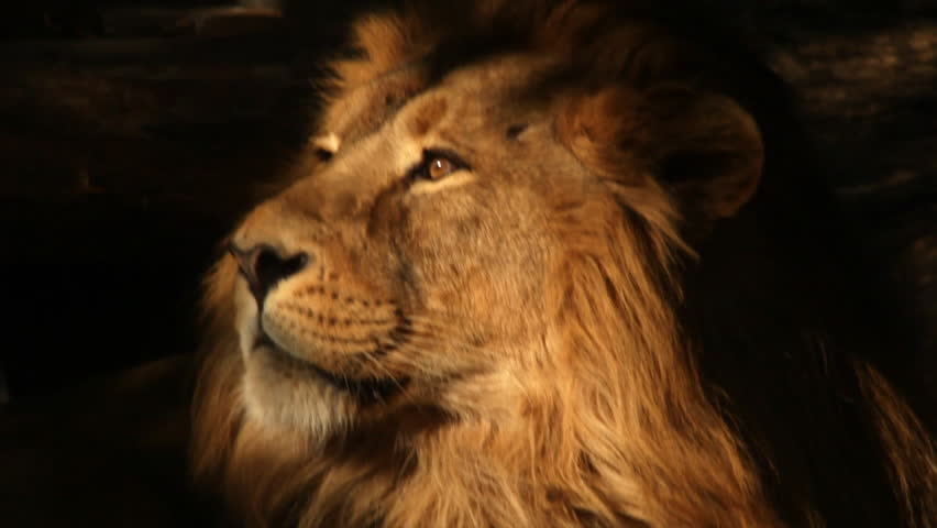 8k Animal Wallpaper Download: Eye Contact With Drowsy Asian Lion In Sunset Light Close