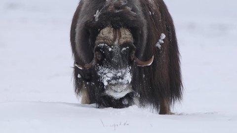 Musk ox bull shaking its huge body in winter scenery