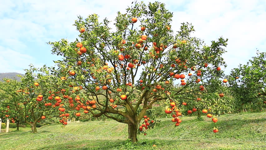 Exceptional Tree With Fruits Part - 12: Orange Trees With Fruits On Plantation. Orange Farm - Orange Park.  1920x1080 - HD