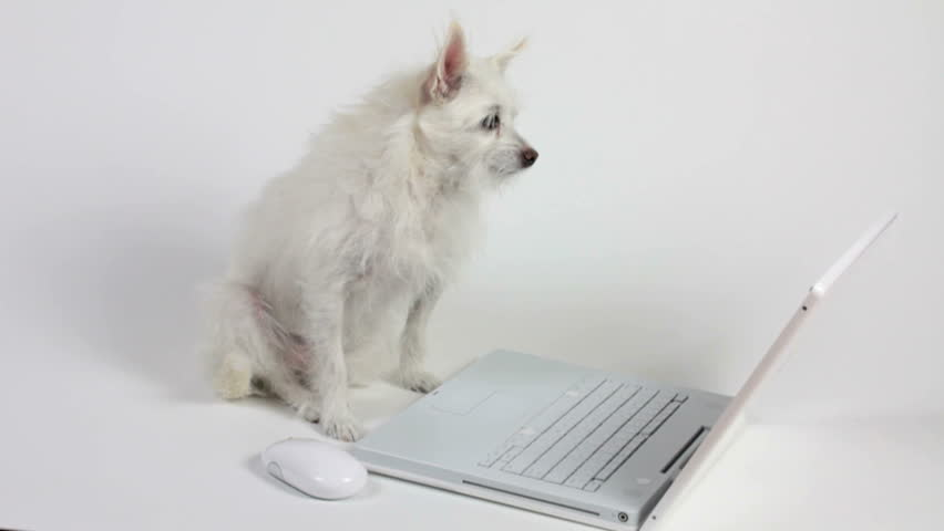 Dog, an adorable Chihuahua mix, places paw on mouse, clicks, peruses computer screen. Fun technology concept. 1080p