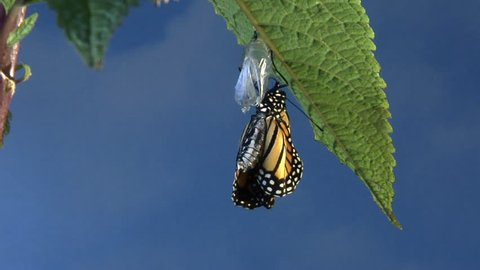 Monarch butterfly emerging from chrysalis and flaps wings