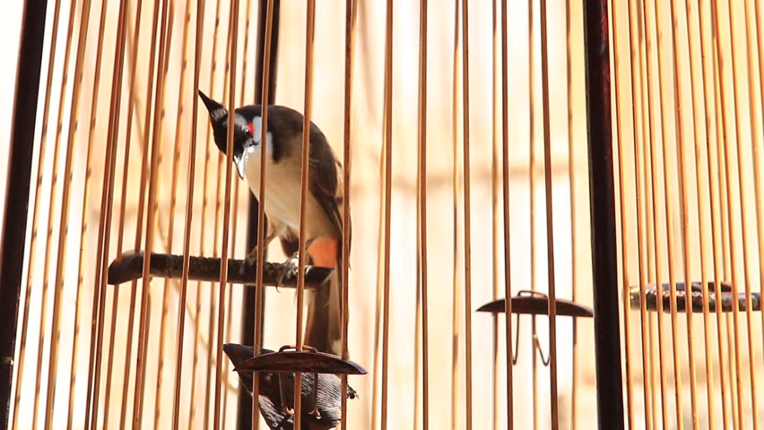 Bird in a Cage (Sooty-headed Bulbul),Thailand ( Pycnonotus aurigaster) | Shutterstock HD Video #8803417
