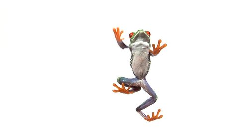 red eyed green tree frog walking on clear surface
