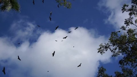 Vultures circling above a carcass dead animal around some trees and palm trees in a tropical forrest also a beautiful crisp blue sky with some clouds in background where the birds of prey are teaming