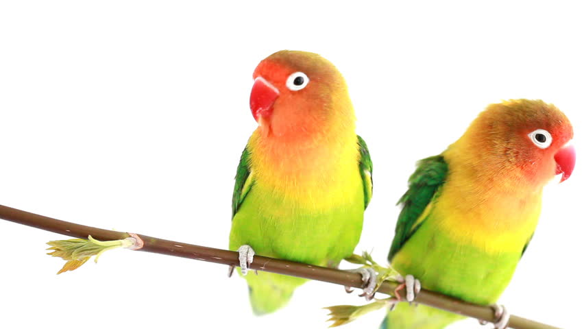 Pair of lovebirds (agapornis-fischeri) isolated on white