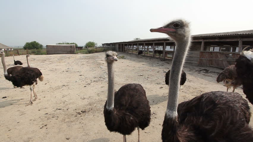 Ostriches on a farm