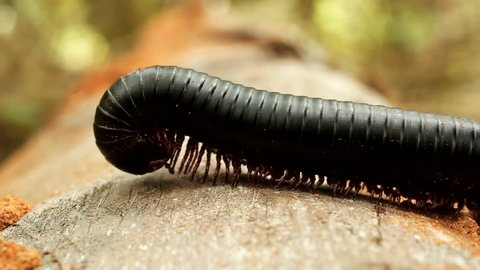 Giant millipede crawling on driftwood in the jungles of Africa