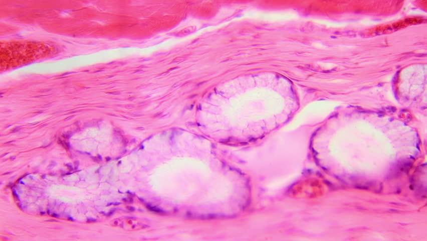 Stratified squamous epithelium under the microscope (Stratified Squamous Epithelium W.M.), Full HD