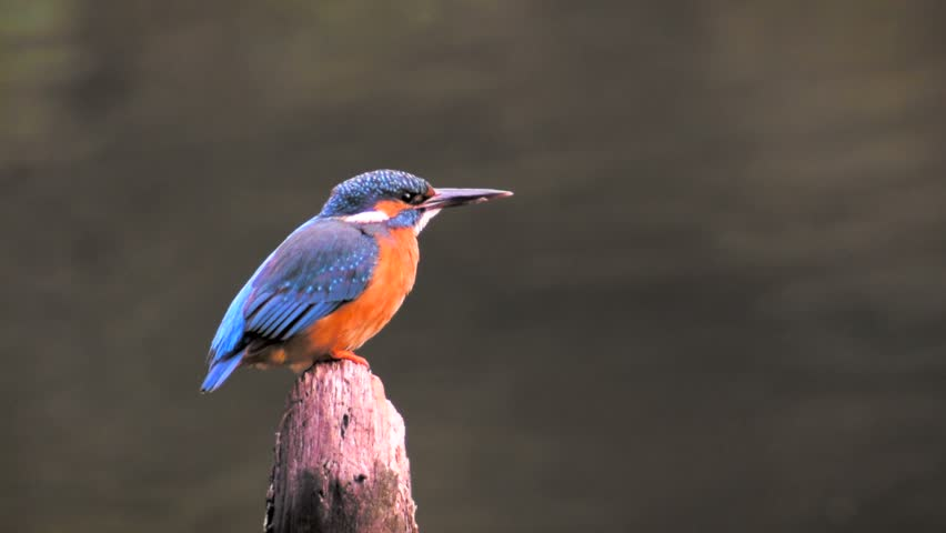 Common Kingfisher bird (Alcedo atthis), also known as the Eurasian Kingfisher or River Kingfisher sitting on a branch and looking around. | Shutterstock HD Video #8914537