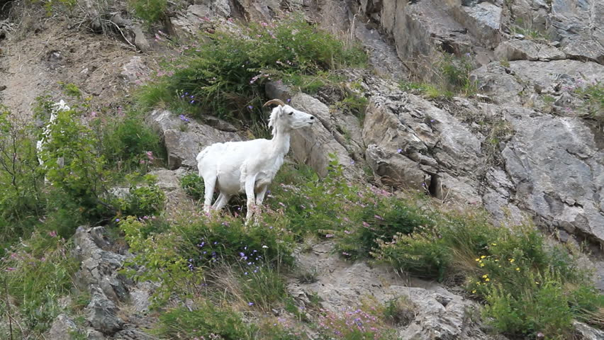 Dall sheep ewe walking down on steep rocky mountain cliff and ledges near Anchorage Alaska. Along mountain in Turnagain Arm. Pure white wild sheep.