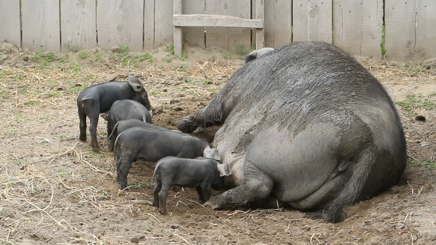 Young pigs eagerly eating on mother sow when she decides to sit up. Huge size compared to piglets. The piglets are fighting over her nipples for nourishment and food. Very large female pig sow. Farm.