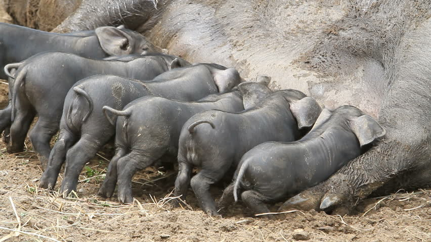 Young baby pigs eating on the mother sow as she lays on ground, fast motion timelapse. The piglets fighting over her nipples for nourishment and food. Not yet weaned. Very large female pig sow. Farm.