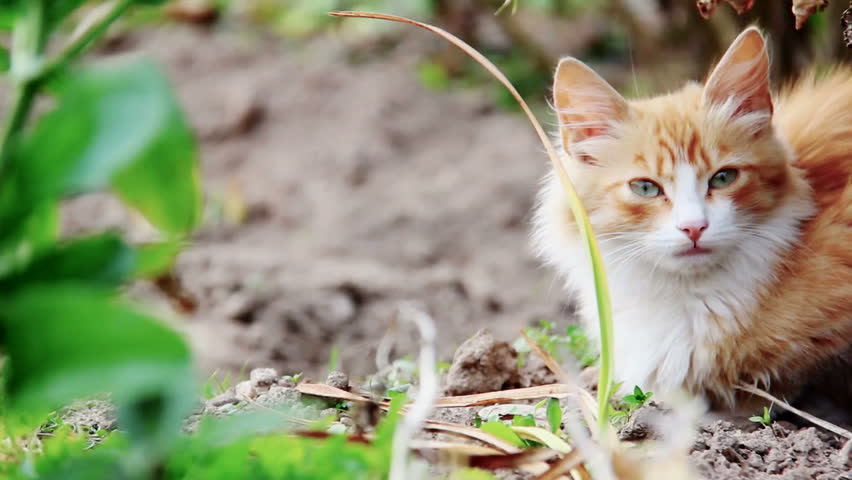 Ginger Cat in the Grass | Shutterstock HD Video #9040171