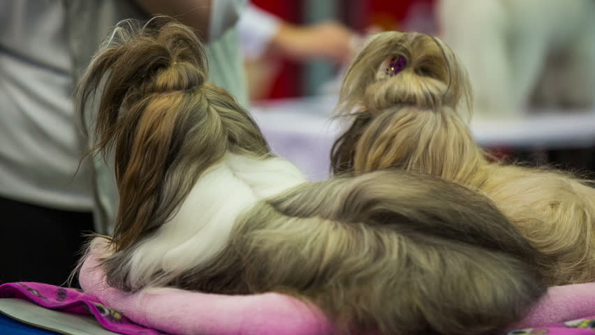 Two Shih Tzu Puppies With Funny Stock Footage Video 100 Royalty