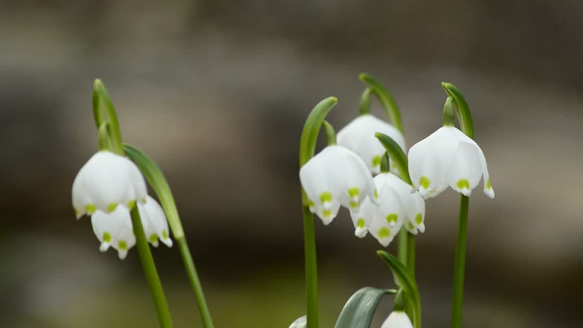 Snowflake Rare Protected Spring Flower Of Germany