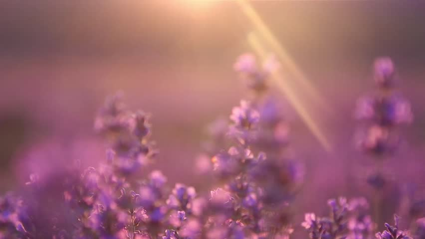 Sunset on the lavender field | Shutterstock HD Video #9269267
