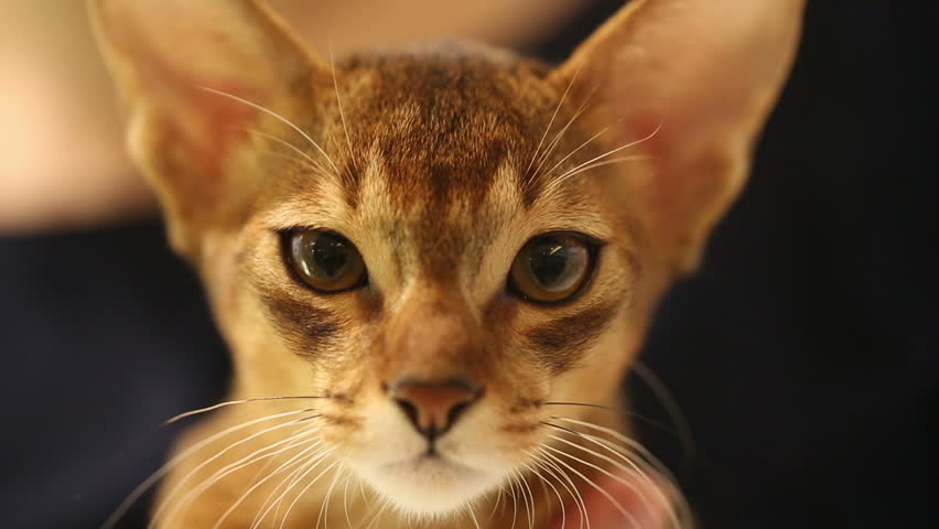 Header of Abyssinian