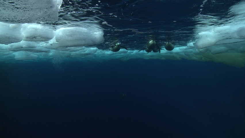 Emperor penguins (Aptenodytes forsteri) swimming to the surface and diving in hole in sea ice, underwater, Cape Washington, Antarctica | Shutterstock HD Video #9321167