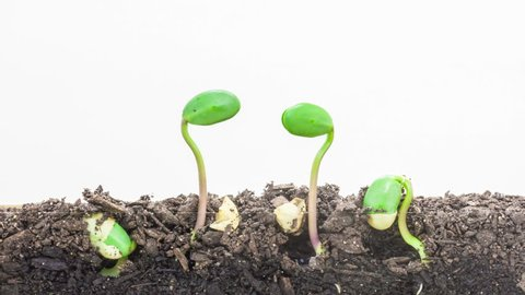HD 1080p macro time lapse video of soybean vegetable seeds growing from soil, underground and overground view on a white background/Soybean seeds sprouting timelapse