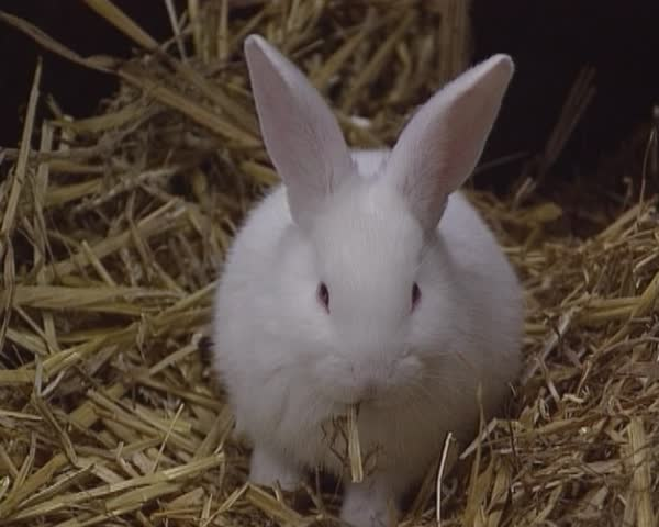 White Rabbit Eating Straw Hutch Stock Footage Video 100 Royalty Free 9501647 Shutterstock
