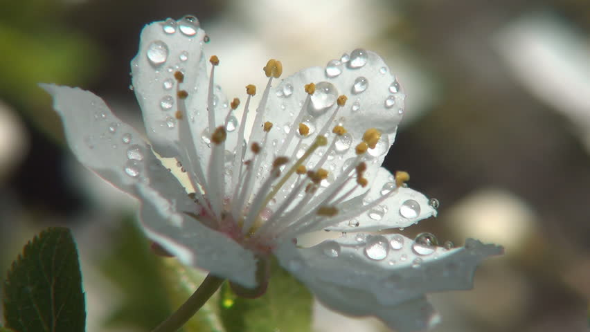 Flower With Rain Drops, Morning Dew Drops, Close Up