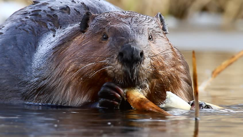 movie of a wild beaver near lake, nature series