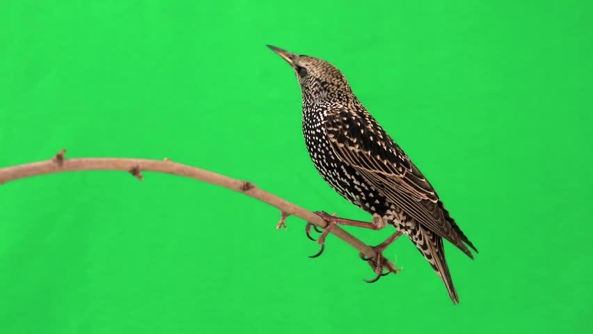 Starling on  green screen | Shutterstock HD Video #9543839