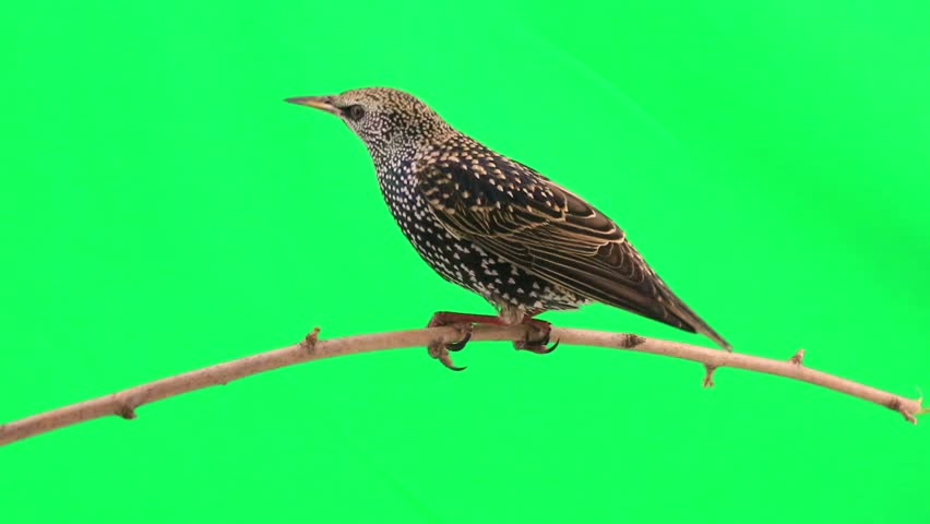 starling on  green screen #9543857