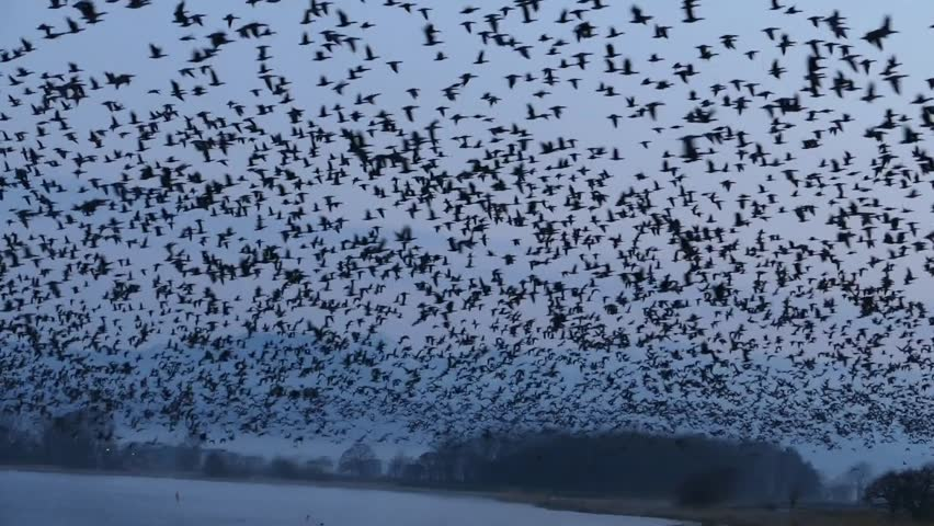 Flying of migratory birds. _5