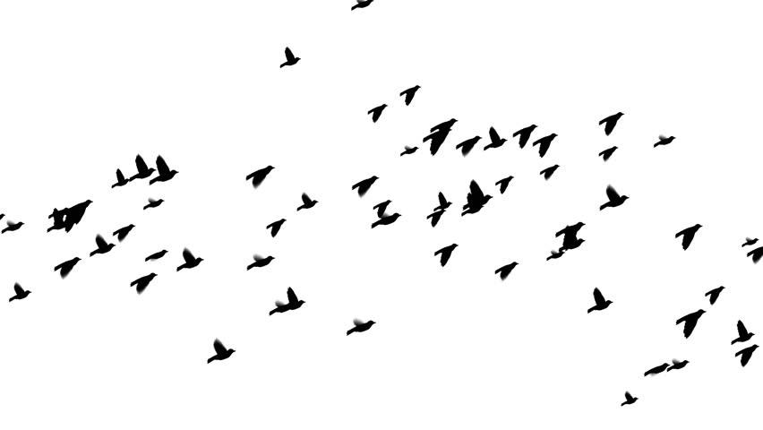Flock of Birds Flying Across Stock Footage Video (100% ...  Flock