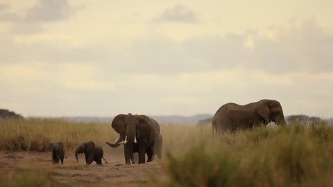 Elephant  in aggressive movement chasing lion to protect their calf