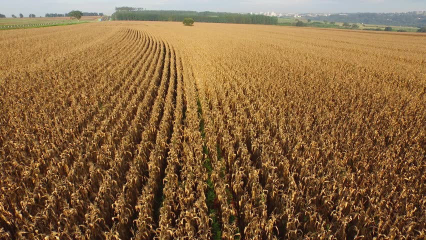 Cornfield aerial view in sunny day in Brazil | Shutterstock HD Video #9649076