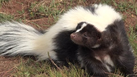 Striped Skunk Adult Lone Smelling Summer Black White Scent Smell Odor