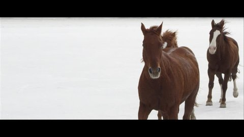 Up close slow motion wide screen of horses running on the Bonneville Salt Flats in Utah as it is snowing.