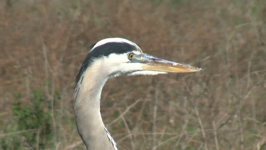 Great Blue Heron Opening Beak