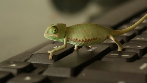 Closeup of a baby green chameleon who walk on a black keyboard
