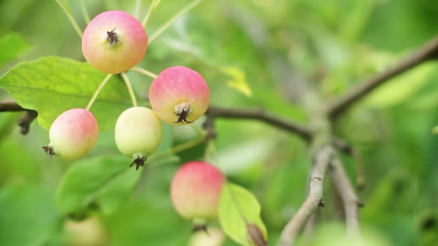 Apples on a branch | Shutterstock HD Video #9767348