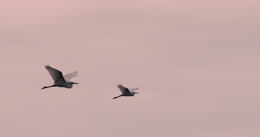 Two snowy egrets flying together at sunset in slow motion.