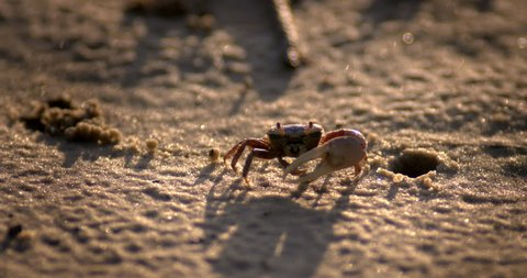 Fiddler crab at sunrise digging in sand and eating.